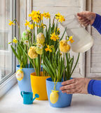 Female hands decorated by Easter pot of narcissuses Stock Photos
