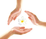 Female hands with frangipani Stock Photography