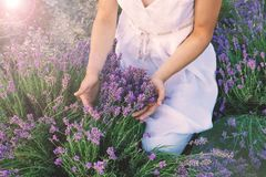 Lavender field and female hands royalty free stock images