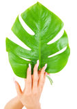 Female hands with green leaf Stock Photos