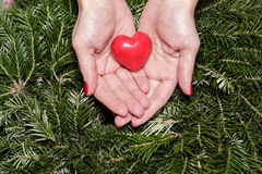 Female hands with heart on fir branches. Valentine Day. Female hands with decorative heart on background of fir branches. Valentine Day royalty free stock image