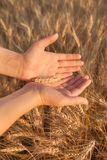 Female Hands Hold Barley Plant. Beautiful female hands holds single barly plant on barley field Royalty Free Stock Photography