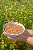 Female hands hold a bowl with buckwheat against the background o of the blossoming buckwheat of a sowing campaign Fagopyrum escu. Female hands hold a bowl with Stock Photo