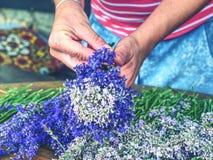 Female hands hold bunch of freshly harvested lavender. stock photo