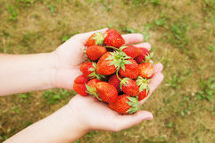 Female hands hold large and ripe berries Royalty Free Stock Photo