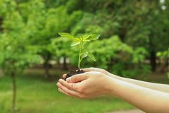 Female hands hold plant growing seedling against greenery background, space for text. Environmental protection stock images