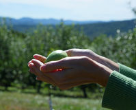 Female Hands Holding Apple in Orchard Stock Photo