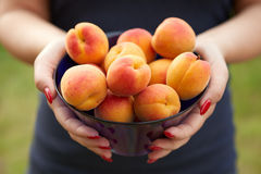 Female hands holding apricots Royalty Free Stock Photography