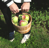 Female hands holding basket full of apples. Royalty Free Stock Image