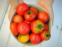 Female hands holding a bowl with fresh organic tomatoes from home garden. Stock Photos