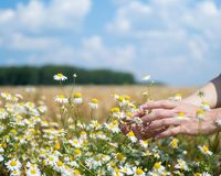 Female hands holding camomiles in field on sunny summer day royalty free stock photo