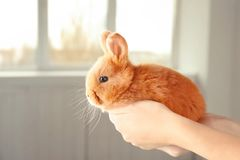 Female hands holding a cute foxy rabbit. Near the window Royalty Free Stock Photos