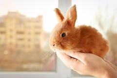 Female hands holding a cute foxy rabbit. Near the window Stock Photo