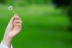 Female hands holding a daisy Royalty Free Stock Images