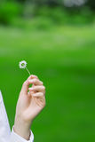 Female hands holding a daisy Stock Photos
