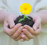 Female hands holding flower Royalty Free Stock Photography