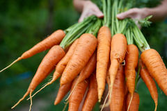 Female hands holding fresh carrots stock photos