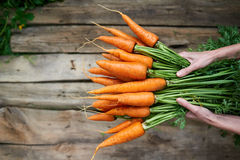 Female hands holding fresh carrots stock photography