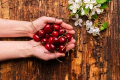 Female hands are holding fresh ripe cherry in their palms on aged wooden background. Copy space. Flat layout. stock photo
