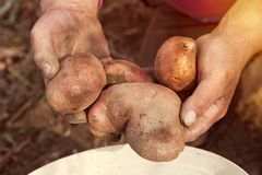 Female Hands Holding Freshly Picked Potatoes stock photos