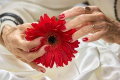 Female hands holding gerbera flower. Senior woman hands with red perfect manicure holding peach color gerbera. Woman beauty and care Stock Images