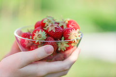Female hands holding handful of strawberries close up Royalty Free Stock Photo