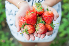 Female hands holding handful of strawberries Royalty Free Stock Image