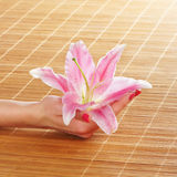 Female hands holding a lily flower Royalty Free Stock Photography