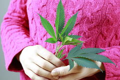 Female Hands are holding Marijuana green fresh leaf ( cannabis). Stock Image