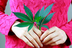 Female Hands are holding Marijuana green fresh leaf ( cannabis). Stock Photos