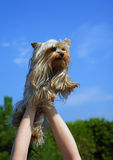 Female hands holding overhead Yorkshire Terrier Royalty Free Stock Image