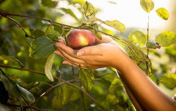 Female hands holding red apple at garden Stock Image