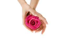 Female hands holding rose on white, Close-up isolated Stock Image