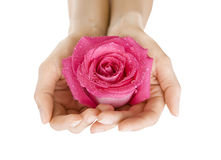 Female hands holding rose on white, Close-up isolated Royalty Free Stock Photos