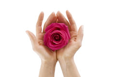 Female hands holding  rose on white isolated, Close-up Stock Photos