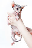 Female hands holding scared sphinx kitten. Isolated on white background Stock Photos