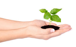 Female hands holding a small plant Stock Images