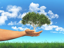Female hands holding a tree in cupped hands Royalty Free Stock Photography