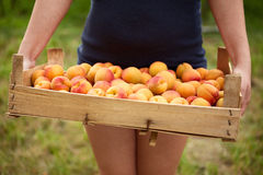 Female hands holding a wooden box full of apricots Stock Photo