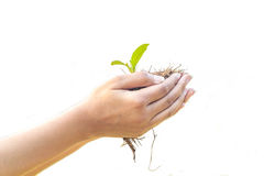 Female hands holding young green plant, isolated on white background. Were to plant a tree to add oxygen to the world royalty free stock photos