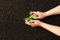 Female hands hugs a green sprout in black soil, top view and space for text. Environmental protection. Agriculture royalty free stock images