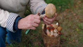 Female hands with knife cleans mushroom boletus and put into basket