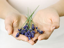 Female hands with lavender Royalty Free Stock Photo