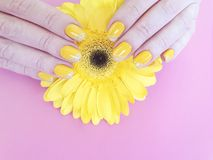 Female hands manicure gerbera stylish delicacy summer design elegance flower on colored stock photos