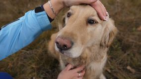 Female hands petting happy labrador retriever stock video footage