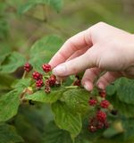 Female hands picking fruit Royalty Free Stock Image