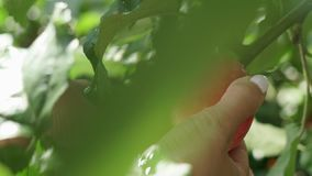Female hands picking an red apple from a tree. Apple on the tree branch. Female hands picking an red apple from a tree. Garden Apple with dew on the tree. Apple stock video