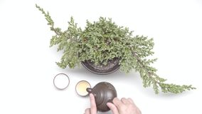 Tea ceremony. Female hands pour a tea in chinese cups from kettle near plant in a pot on white background. Slow motion. Tea ceremony stock video footage