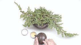 Tea ceremony. Female hands pour a tea in chinese cups from kettle near plant in a pot on white background. Tea ceremony stock footage