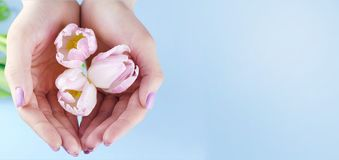Female hands with purple manicure hold tulips stock photos